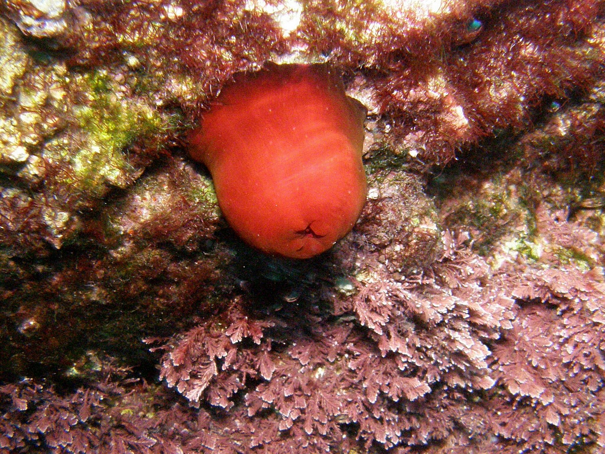 Rdeča morska vetrnica