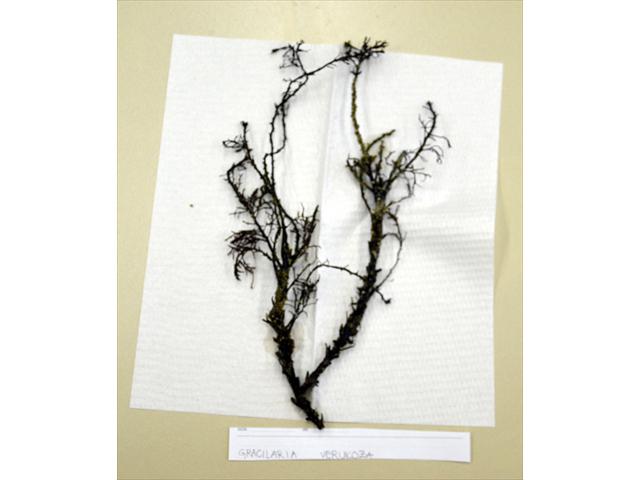Gracilaria Verrucosa