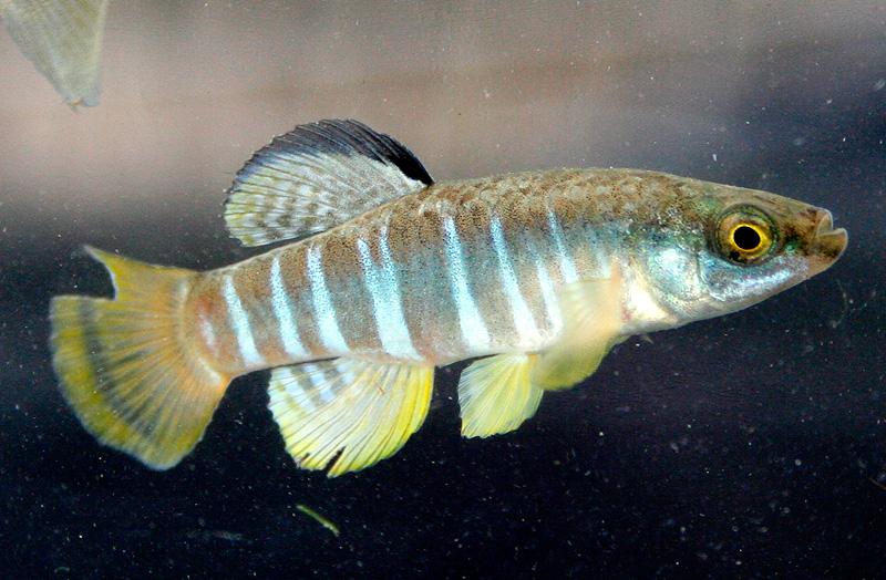 Solinarka (Aphanius Fasciatus)